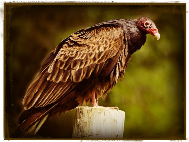 Turkey Vulture on a Fence Post